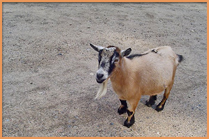 Petting Zoo Goat